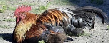 Combats de coqs